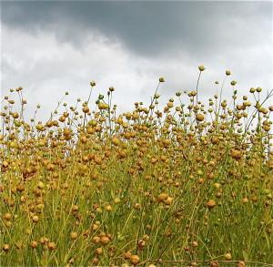 Pellavansiemenistä tehdää myös pellavansiemenrouhetta