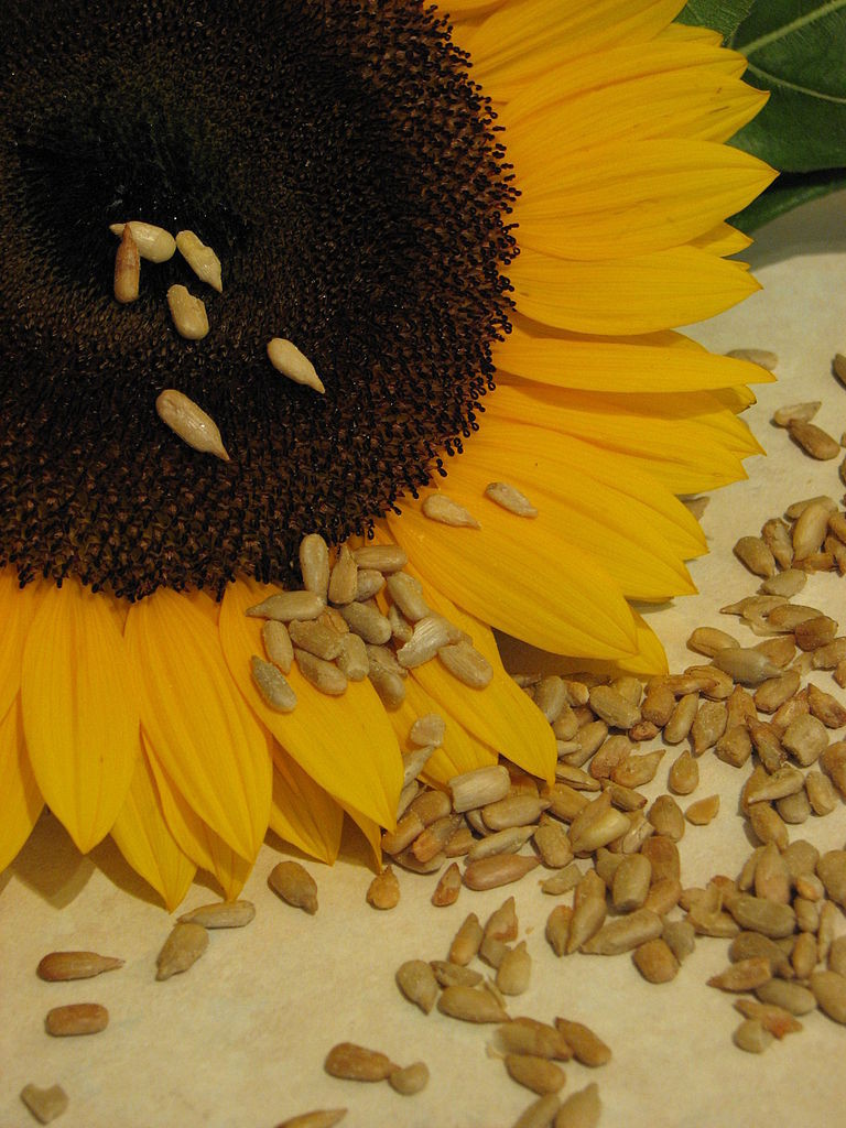 Sunflower_and_seeds